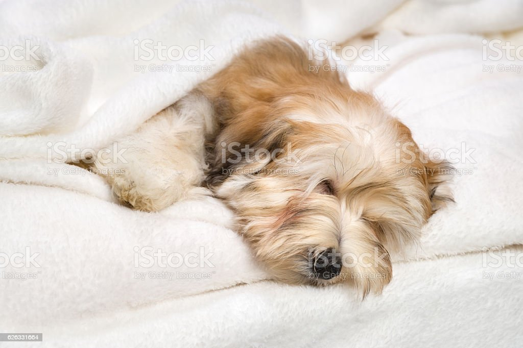 Cute sleeping Havanese puppy on white bedspread stock photo