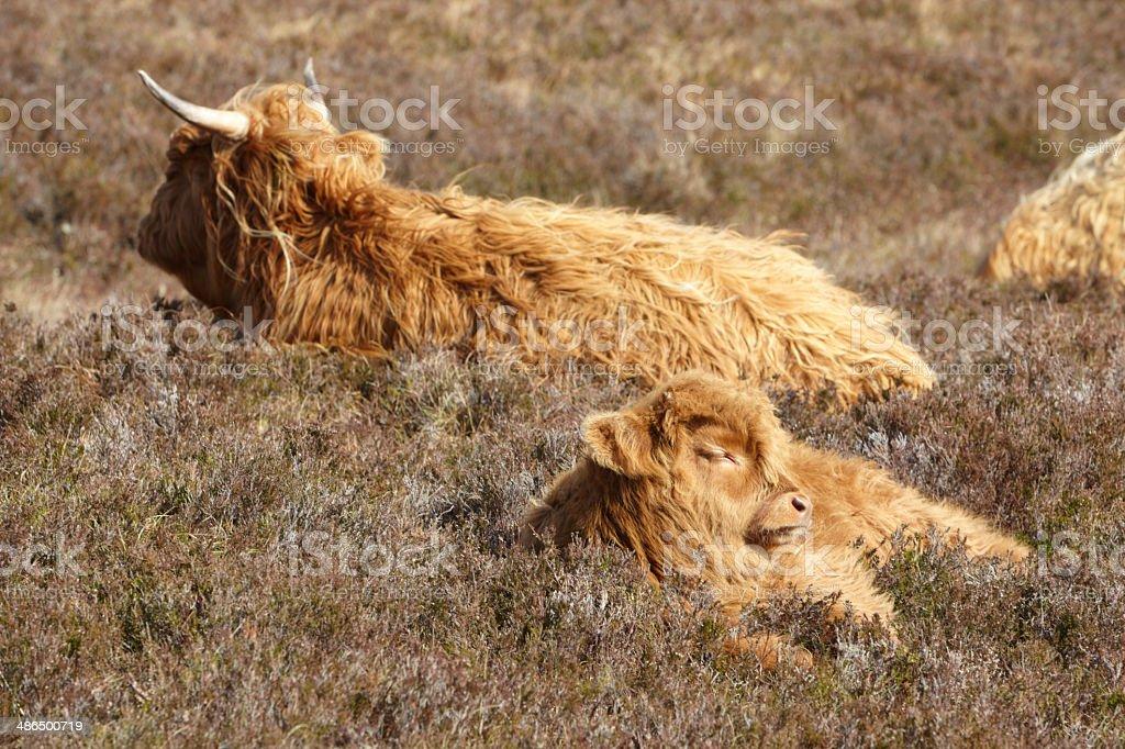Cute sleepy Highland Cattle royalty-free stock photo