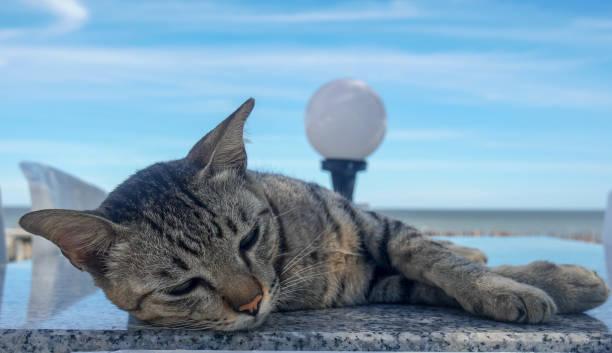Cute sleepy lazy cat lying on the table near the beach picture id1262086892?b=1&k=6&m=1262086892&s=612x612&w=0&h=u6zicnyix0cpe0l4utbqh22czv 29f2whg8fmj6pw7s=