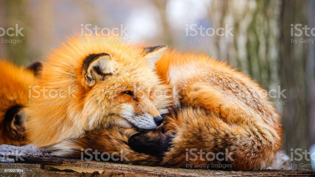 冬にかわいい眠い赤狐 ストックフォト