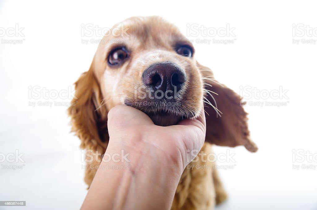 Cute Sleepy Relaxing English Cocker Spaniel Puppy In Front Of Stock Photo Download Image Now Istock