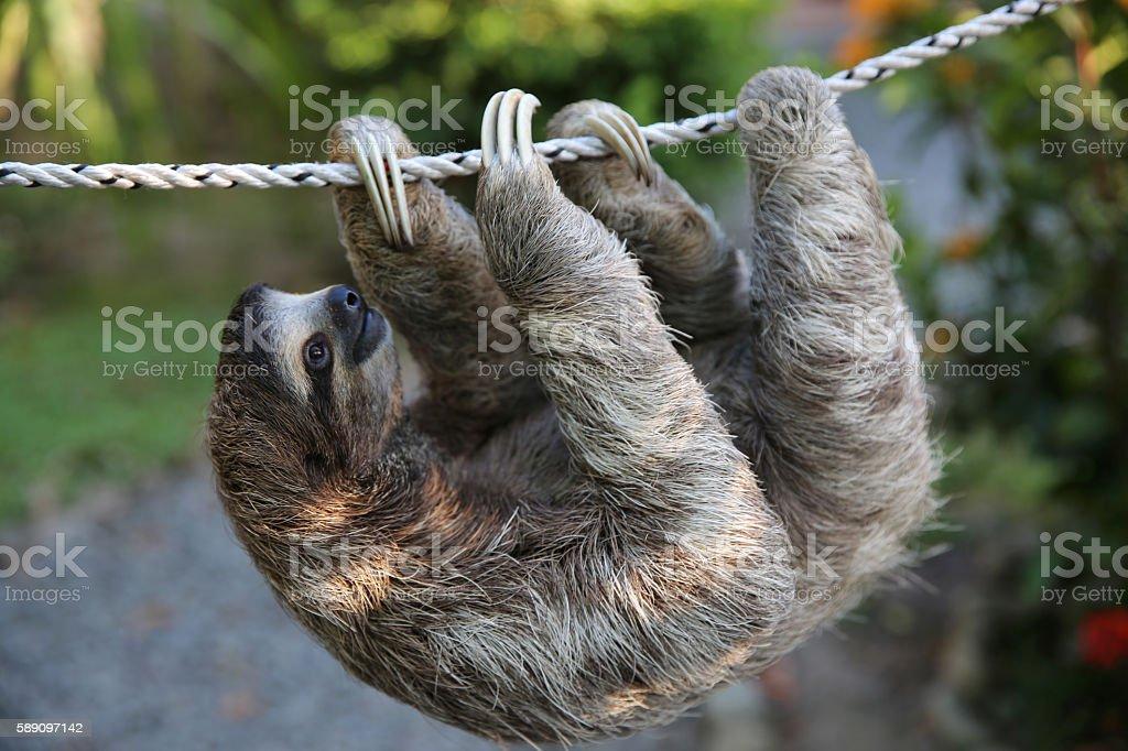 Cute Sloth Climbing On Rope stock photo
