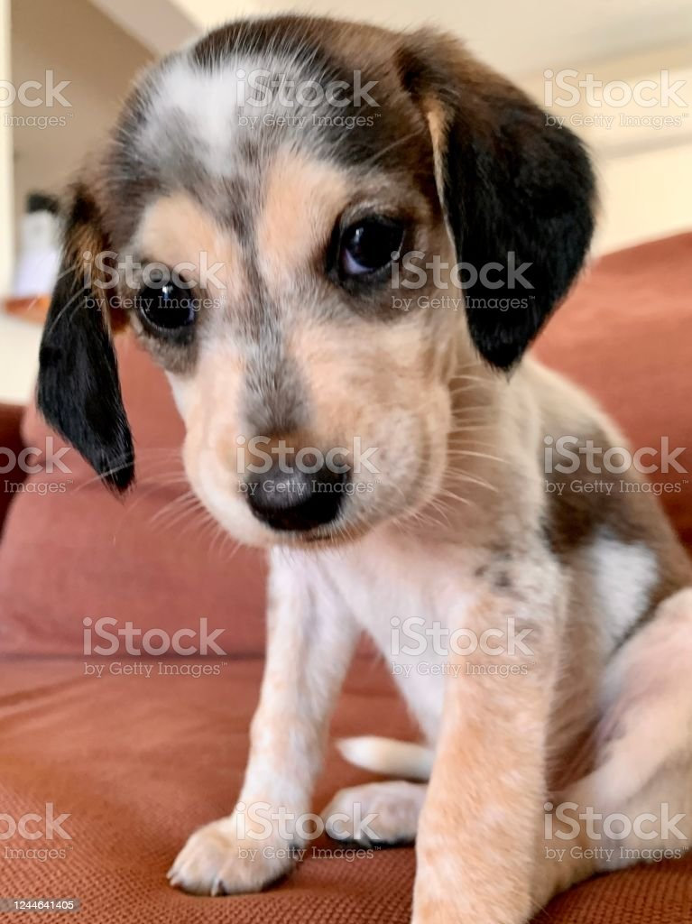 Cute Small Beagle Puppy Stock Photo Download Image Now Istock