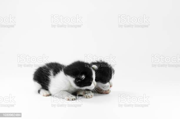 Cute small black and white kitten on a white background picture id1033962484?b=1&k=6&m=1033962484&s=612x612&h=lbbn8uothgbegilj9dnmhhdy2tvuwx77lwk7 af6ncu=