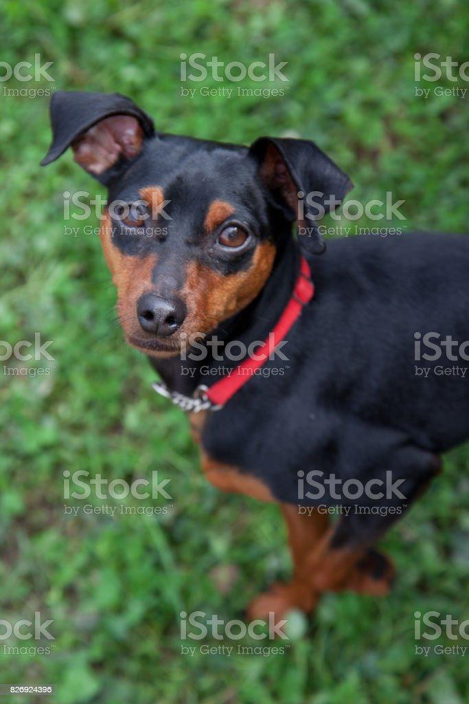 cute small Dachshund stock photo
