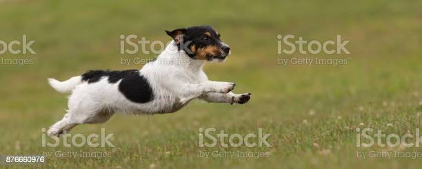 Cute small dog flies fast over a green meadow jack russell terrier picture id876660976?b=1&k=6&m=876660976&s=612x612&h=xpc hnfqyp46joqwvqywlyh4c8rtpr19vr7lks4i1w0=
