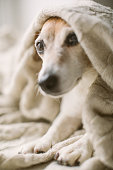istock Cute small dog having rest. lying on the bed wrapped with a blanket. Relaxed cozy mood 1132975038