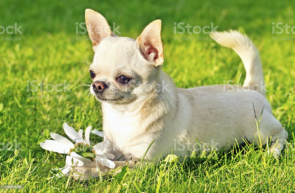 cute small dog royalty-free stock photo