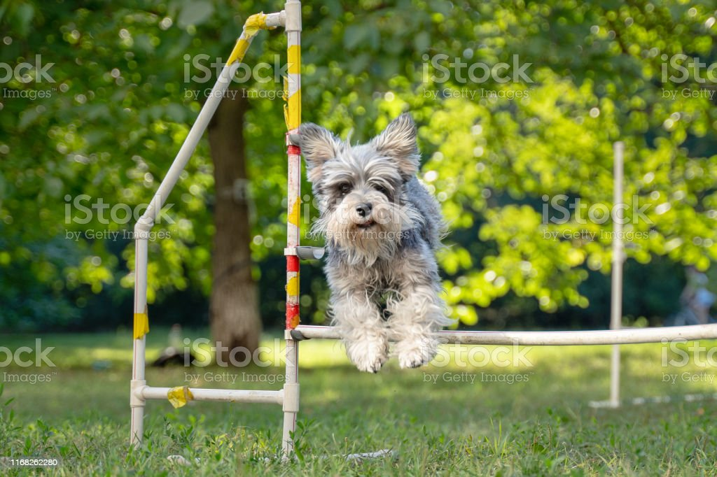 Cute small dog running on agility competition. Dog in an agility...