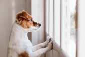 istock cute small dog standing on two legs and looking away by the window searching or waiting for his owner. Pets indoors 1213207280