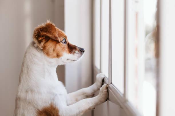 lindo perro pequeño de pie en dos piernas y mirando hacia otro lado por la ventana buscando o esperando a su dueño. Mascotas en el interior - foto de stock