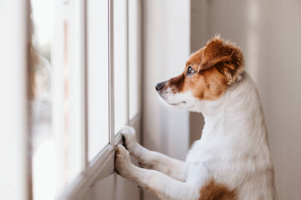 cute small dog standing on two legs and looking away by the window searching or waiting for his owner. Pets indoors stock photo