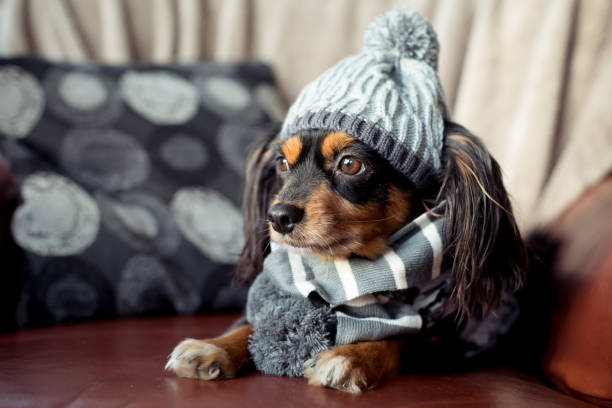 Cute small dog with beanie and scarf on for winter Small dog sitting on the couch with winter hat and scarf on pet clothing stock pictures, royalty-free photos & images