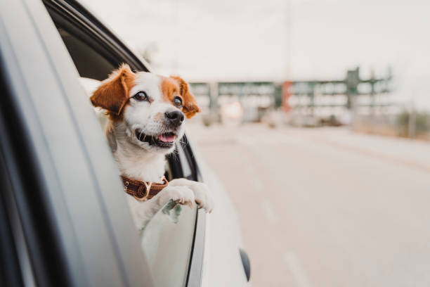 cute small jack russell dog in a car watching by the window. Ready to travel. Traveling with pets concept stock photo