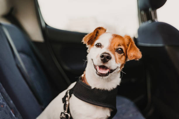 lindo pequeño jack russell perro en un coche que lleva un arnés seguro y el cinturón de seguridad. Listo para viajar. Viajar con concepto de mascotas - foto de stock