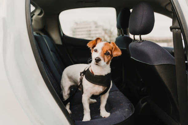 cute small jack russell dog in a car wearing a safe harness and seat belt. Ready to travel. Traveling with pets concept stock photo