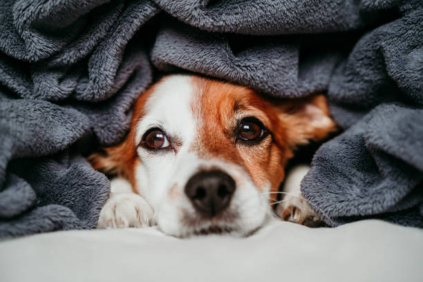 cute small jack russell dog sitting on bed, covered with a grey blanket. Resting at home. Pets indoors stock photo