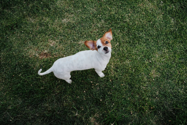 cute small jack russell terrier dog sitting on the grass in a park. Pets outdoors and lifestyle stock photo