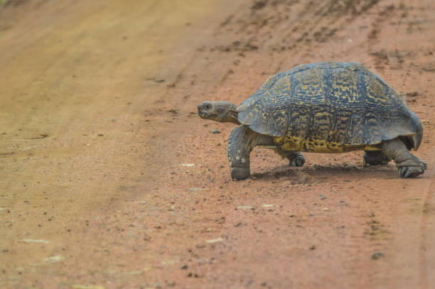 Best Leopard Tortoise Stock Photos Pictures Royalty Free