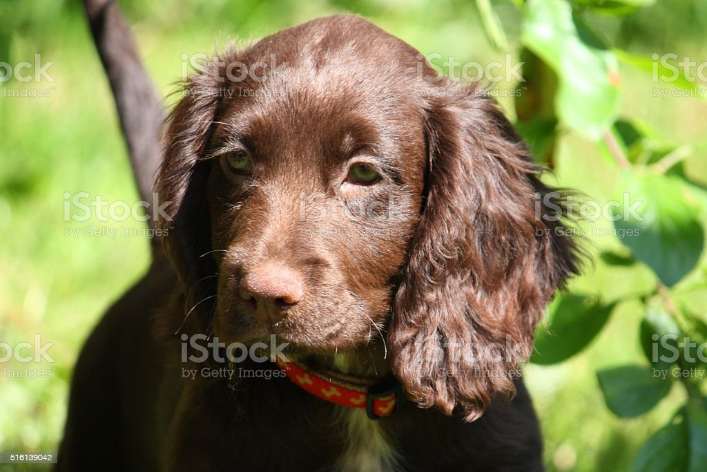 Cute Small Liver Working Cocker Spaniel Pet Gundog Puppy Stock Photo Download Image Now Istock