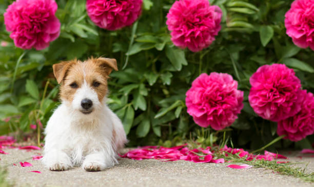 Cute small pet dog puppy looking in the garden with flowers web picture id1248789763?b=1&k=6&m=1248789763&s=612x612&w=0&h=vt s7bp4wmyv45kxnkyg5ymgdyowkf fh  94kcugmw=