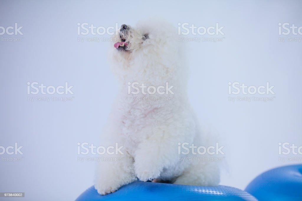 A Cute Small White Dogs Leg Is Lifted Up Stock Photo More Pictures