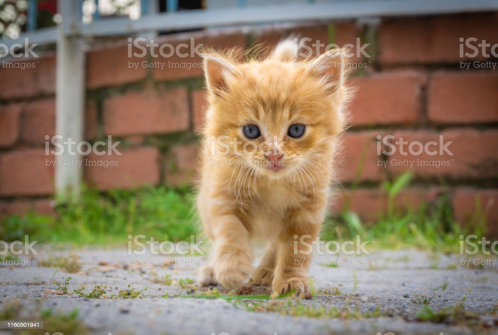 Cute Small Yellow Kitten With Blue Eyes Portrait Of Tabby Cat Street Cat And Lifestyle Concept Cat Looking The Camera Stock Photo Download Image Now Istock