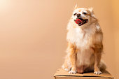 istock cute smile chihuahua brown color happiness friend lapdog with brown color background 1268654815
