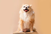 istock cute smile chihuahua brown color happiness friend lapdog with brown color background 1268654841