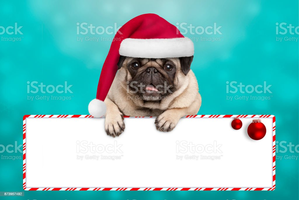 cute smiling Christmas pug puppy dog with santa hat, hanging with...