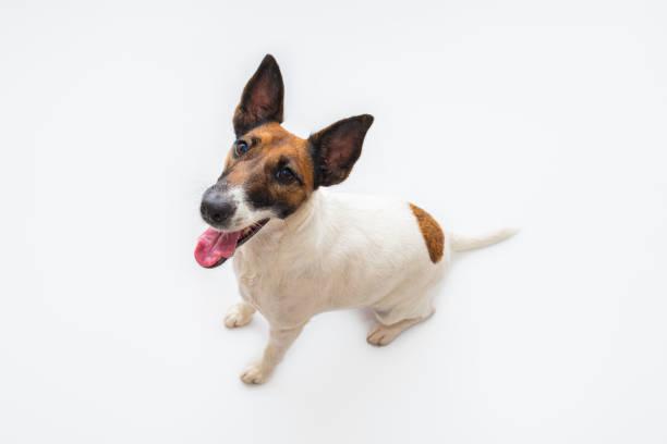 Cute smiling fox terrier dog white backdrop and copy space picture id1253833821?b=1&k=6&m=1253833821&s=612x612&w=0&h=rt hd3s0kfglrv6wttznvlhah3j1xtfviun1uzez0pe=
