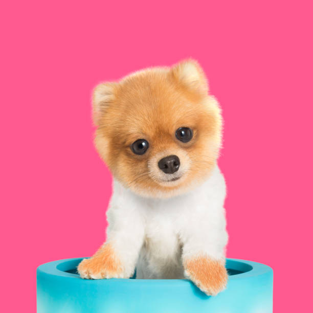 süß lächelnd pommerschen hund - zwergspitz stock-fotos und bilder