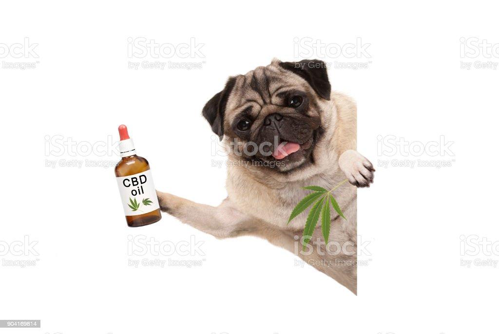 schattige lachende pug puppy hond houden flesje CBD olie en marihuana wietblad foto