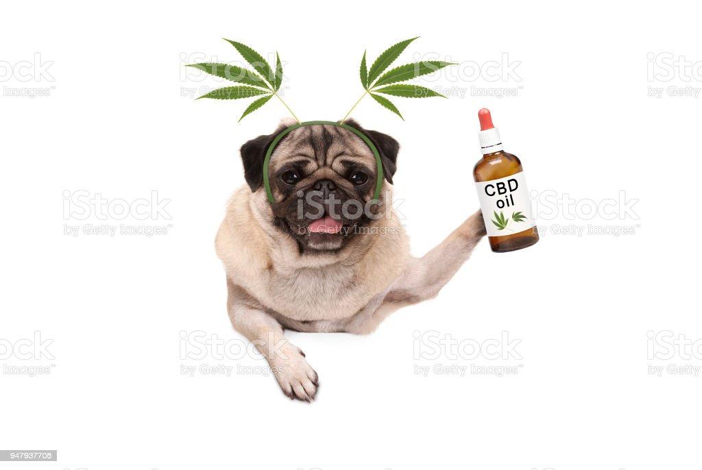schattige lachende pug puppy hond houden flesje CBD olie dragen van marihuana hennep leaf DIADEEM foto