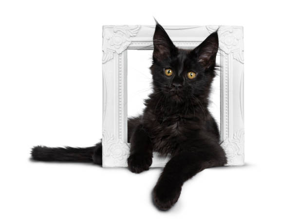 Cute solid black maine coon cat kitten laying down side ways through picture id1135359571?b=1&k=6&m=1135359571&s=612x612&w=0&h=e9jatkl5ptunr g n zyjh7jvcy8ztsll mmdp oyh0=