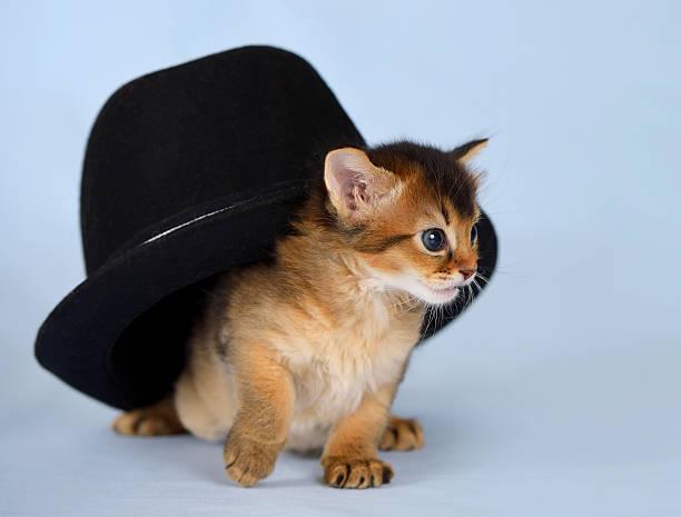 Cute somali kitten in a hat picture id472057811?b=1&k=6&m=472057811&s=612x612&w=0&h=n8ub97f6grswv4j v2q03 j4uqtwhnzmkrjpsgwsyzw=