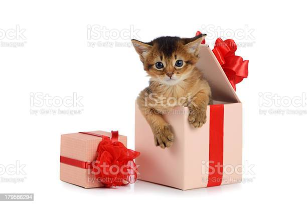 Cute somali kitten in a present box isolated picture id179586294?b=1&k=6&m=179586294&s=612x612&h=nz3en55of8udonl4m4l4w8vnygsrllm35xcxy4ae 0k=