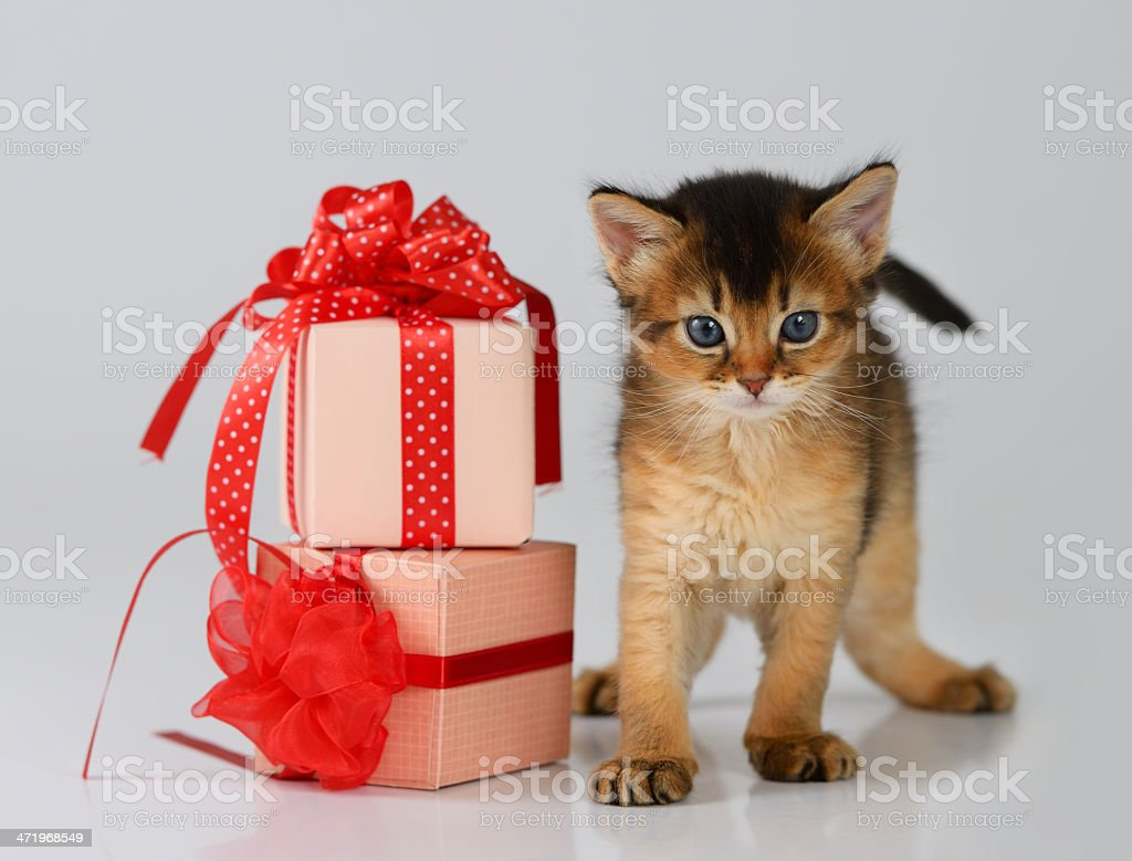 Cute somali kitten in a present box stock photo