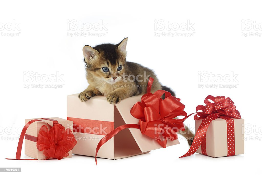 Cute somali kitten on a present box isolated stock photo