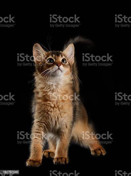 Cute somali kitten on black picture id184702040?b=1&k=6&m=184702040&s=612x612&h=xhqvtvzl9y7xhoyqt7 sdgjc3vxfv2k9zv4wuugzqdi=