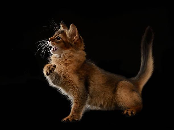 Cute somali kitten on black picture id186268702?b=1&k=6&m=186268702&s=612x612&w=0&h=oq ugu3svj7lz79z8fmf q0 gz8 i8dw7cl 8teplsw=