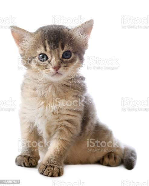 Cute somali kitten picture id458892817?b=1&k=6&m=458892817&s=612x612&h=ntqrrzdoiu9hfnvghxm3sdktuexa0wcfxtfkfyiz0ou=