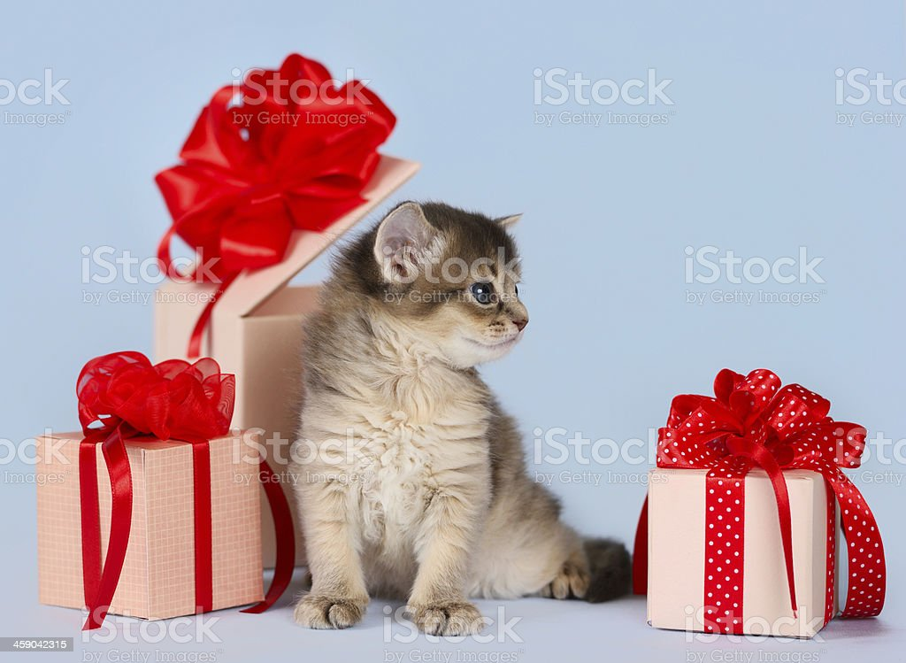 Cute somali kitten sitting near a present box stock photo