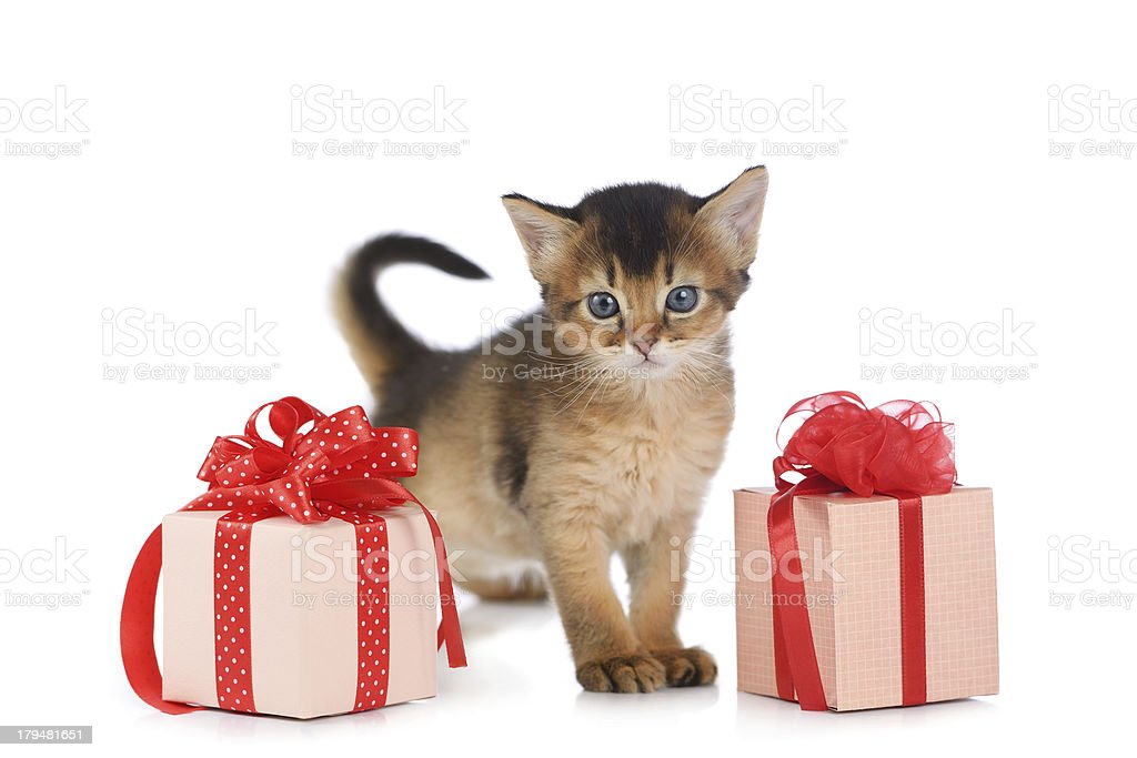 Cute somali kitten stay near a present box stock photo