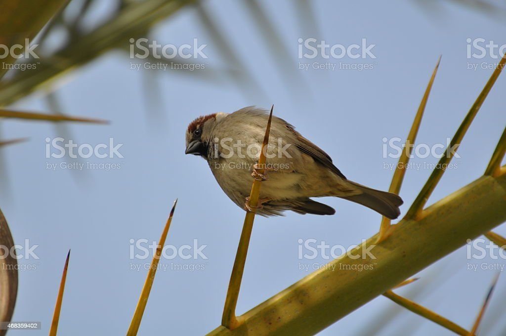 Cute Sparrow royalty-free stock photo