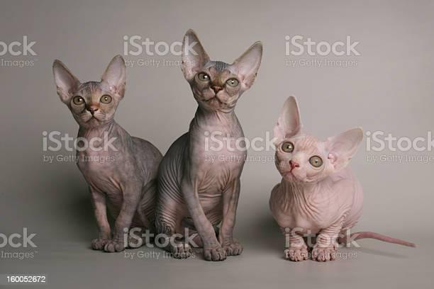 Cute sphinx kittens looking with interest picture id160052672?b=1&k=6&m=160052672&s=612x612&h=piishcl5r4hvojchihaa6h8rct3mbq a2tzvvjvotls=