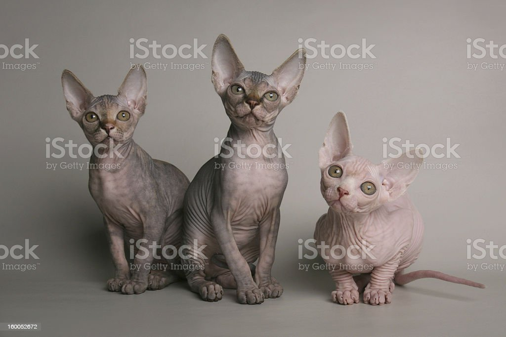 Cute sphinx kittens looking with interest stock photo