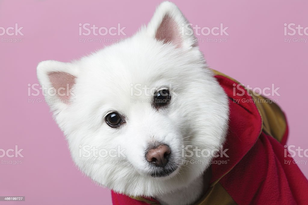 Cute spitz royalty-free stock photo