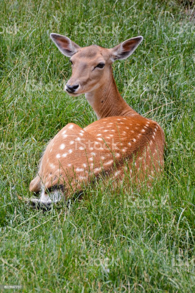 Cute spotted fallow stock photo