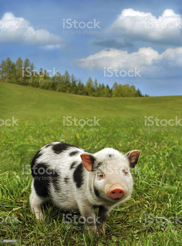 Cute spotty piglet royalty-free stock photo
